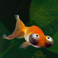 Celestials are small when compared to other goldfish varieties. They have a torpedo-shaped body with a curved back, which lacks a dorsal fin. They generally grow to a length of about 5-6 inches.