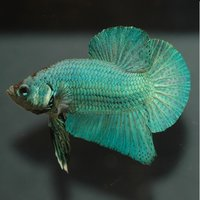 The Siamese fighting fish, or betta, is a vibrantly-colored fish often seen swimming solo in brandy sniffers and ornamental vases in both the office and home.