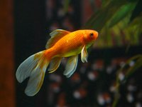 The veiltail was developed around 1890 in the United States by breeding a Japanese ryukin with a telescope eye goldfish.